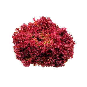 distribucion-lollo-rosso-frutas-ramirez